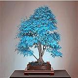 semillas del árbol de arce azul 10 bonsai semillas de árboles bonsai. azul cielo rara japoneses plantas de semillas de arce Balcón para el jardín de