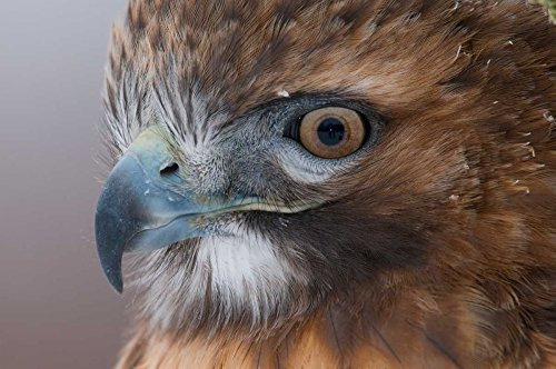 The Poster Corp Steve Gettle - Red-Tailed Hawk Howell Nature Center Michigan Kunstdruck (60,96 x 91,44 cm)
