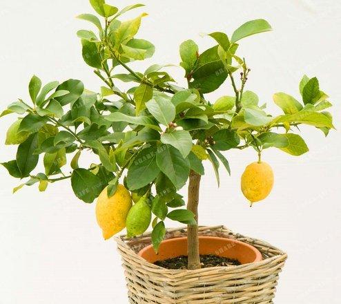 New Lemon Tree 100+ Seeds - Citrus × Limón