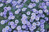 mymotto Blumensamen - blaue Bonsai Gänseblümchen, die Staude ist von Sommer bis Herbst, winterhart, mehrjährig, 100 Samen