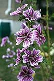 Portal Cool Einzigartige Malva Zebrina 40 Samen Frische Mauve Sylvestris Perennial Comb S/H-freies Geschenk