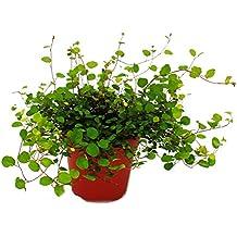 Suchergebnis auf f r h ngepflanzen zimmer - Rankpflanzen zimmer ...