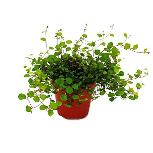Zimmerpflanze - Mühlenbeckia complexa - Kiwi-Knöterich - 12cm Topf