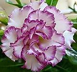 #10: Aiden Gardens White Purple Edge Double desert rose adenium Adenium Obesum 1 Healthy live Seedling Plant