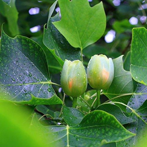 Tulpenbaum Samen - Liriodendron Tulipifera -