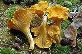 VISA STORE Chanterelle (Pfifferlinge) Myzel Spores Spawn getrockneten Samen