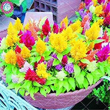 Vista 100 teile/beutel versandkostenfrei flaming mix farbe hahnenkamm samen (celosia argentea) - mehrjährige hausgarten blume pflanze
