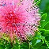 30 semillas / plantas de follaje bolsa de semillas de Mimosa Balcón Pudica semillas en macetas predecir los terremotos Diversión Tímido Semillas de hierba Mini Bonsai ***