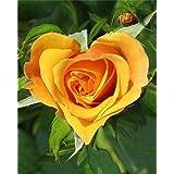 Azalea Garden Rare 1 Rose Plant ' Yellow Heart ' Rare Ornamental Live Plant
