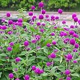GRAINES DE LA Forte Croissance NE Pas Les Plantes: Seed s: Gomphrena globosa graines pour la Saison de Pluie Graines en Ligne (Garden Seeds) Jardin Seed (20 par Paquet)