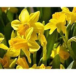 Humphreys Garden Narcissus Narciso Tete a Tete x 10 Bulbs Bulbos de Flores