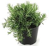Hängender Rosmarin,Rosmarinus officinalis 'Lavandulaceus', Rosmarin Pflanze