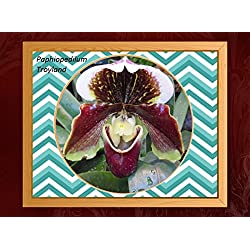Paphiopedilum Troyland 2017: Orchid (English Edition)