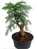 Araucaria cunninghamii - Neuguinea-Araukarie - Zimmertanne - Bonsai-Baum sehr pflegeleicht- Topf 16 cm Ø - Höhe 40 cm