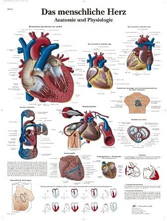 Latein herz aufbau Quiz Herz