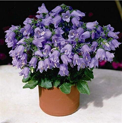 Go Garden Lot de 100 sachets à Bulles pour Fleurs Multicolore Campanula Idéal pour Les Jardins de Maisons vivaces Idéal pour Cutti Bio