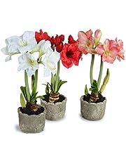 Kraft Seeds Gate Garden Amaryllis Lilly Flower Bulbs (Multicolour, Pack of 11)