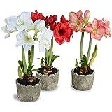 Kraft Seeds Gate Garden Amaryllis Lily Flower Bulbs (Multicolour, Pack of 11)