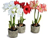 #9: Amaryllis Lilly Flower Bulbs (Pack of 11) By Gate Garden
