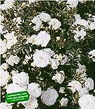 BALDUR-Garten Weiße Rose 'Sea Foam', 1 Pflanze Bodendeckerrose winterhart