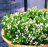 AGROBITS 20 semillas/pack balcón en maceta semillas de flores de jazmín fáciles para plantar semillas temporadas de siembra semillas de flores de jardín de flores perennes: 2