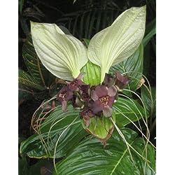 Seedeo Weiße Fledermausblume (Tacca integrifolia) 15 Samen