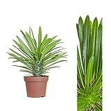 Madagascar palm 30cm Pachypodium lamerei House plant , Potted plant