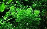 Tropica Aquarium Pflanze Limnophila sessiliflora Nr.047 Wasserpflanzen Aquarium Aquariumpflanzen