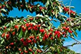 Panoramic Images – Cherries to be harvested Cucuron Vaucluse Provence-Alpes-Cote d'Azur France Photo Print (91,44 x 60,96 cm)