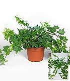 BALDUR-Garten Efeu,1 Pflanze
