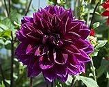 10+ negro Dahlia flor semillas/anual