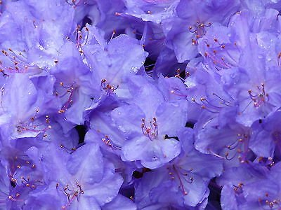 blue-diamond-rhododendron-15-20cm-tall-in-2-litre-pot-with-violet-blue-flowers
