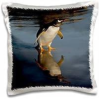 Penguins - Gentoo Penguin, Pebble Island, Falkland