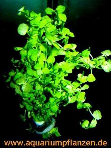 1 Bund Perlkraut, Vordergrundpflanze Aquarium