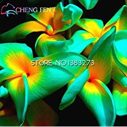 3er-Pack / 150Pcs blühende Pflanzen Bougainvillea Seend Willd Bonsai-Pflanzen-Samen Home Garten Dekoration Bonsai Sementes Miniascape