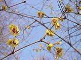 Inverno Pianta da arbusto da giardino fiorito CHIMONANTHUS PRAECOX Calicanto cinese arbusto da giardino fiorito profumato delicatamente