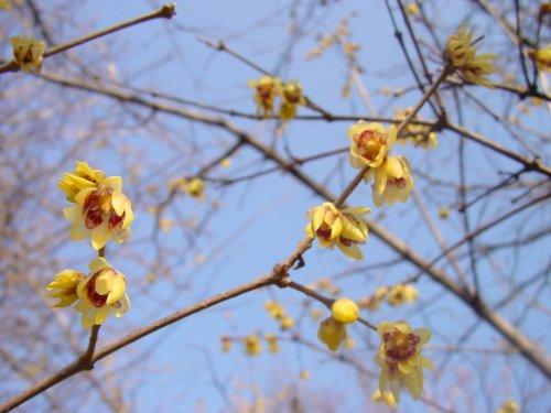 inverno-fioritura-arbusti-piante-chimonanthus-praecox-cinese-wintersweet-sweetly-profumata-inverno-f