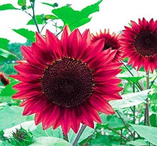UPSTONE Garten Riesen Mehrstielig Sonnenblume - Rot Sun 20 Samen -