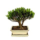 Bonsai Buchsbaum, Buxus herlandii, 20cm Schale, Buxbaum - Outdoor-Bonsai