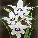 50X Sword Lily Acidanthera