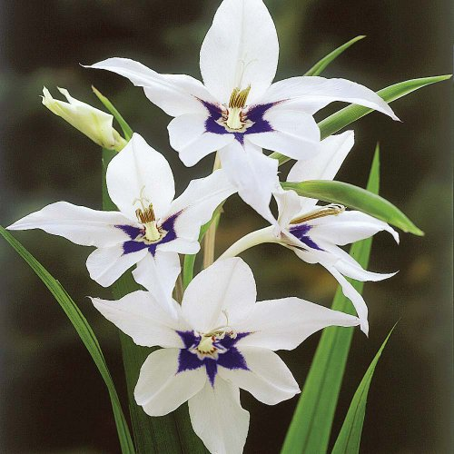 Cottage Garden ampoules: 50x Sword Lily Acidanthera