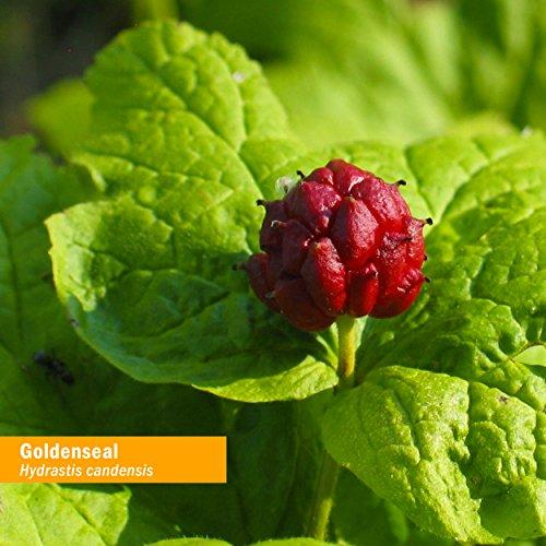 Herb Pharm Goldenseal Liquid (29.6ml 1floz)