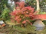 Shopmeeko Samen: 20Pcs Multi-Spezies Grünpflanzen Bonsai Ahorn Pflanze grün und lila Farbe Rot Ahorn Bonsai Pflanze Hausgarten-Anlagen: 12