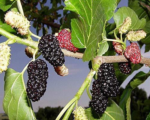 Portal Cool Kaufen, 3 2 Free Schwarz Mulberry Morus nigra Baumsamen 100Pcs Bonsai Sehr selten