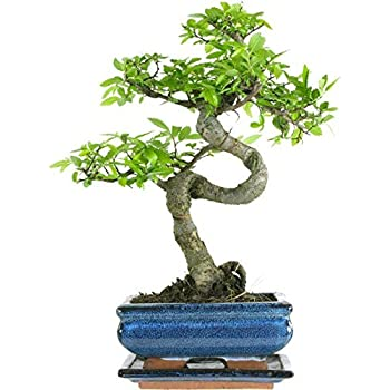 Bonsai Tree Ilex Flowering Indoor//Outdoor 25-30 cm in Ceramic Pot