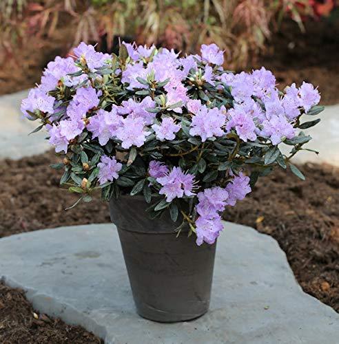 Zwerg Rhododendron Ramapo 15-20cm - Rhododendron impeditum - Zwerg Alpenrose