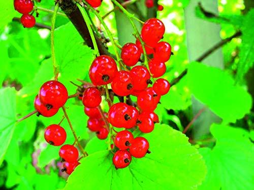 "Portal Cool Rote Johannisbeere""Junifer"" Fruit Bush Aktuelle Pflanzen 9cm Verwurzelt Freier Del> 25 £"