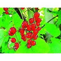 """Portal Cool Pasa roja""""Junifer"""" Cultivos de frutas Bush actuales 9 cm Arraigado gratuito Del> 25 £"""