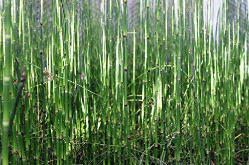 2er-Set - Equisetum japonicum - Japanischer Schachtelhalm - Zinnkraut - Wasserpflanzen Wolff