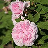 Kordes Rosen Historische Rose, Jacques Cartier, reinrosa, zum rand hin heller werdend, 12 x 12 x 40 cm, 92-31